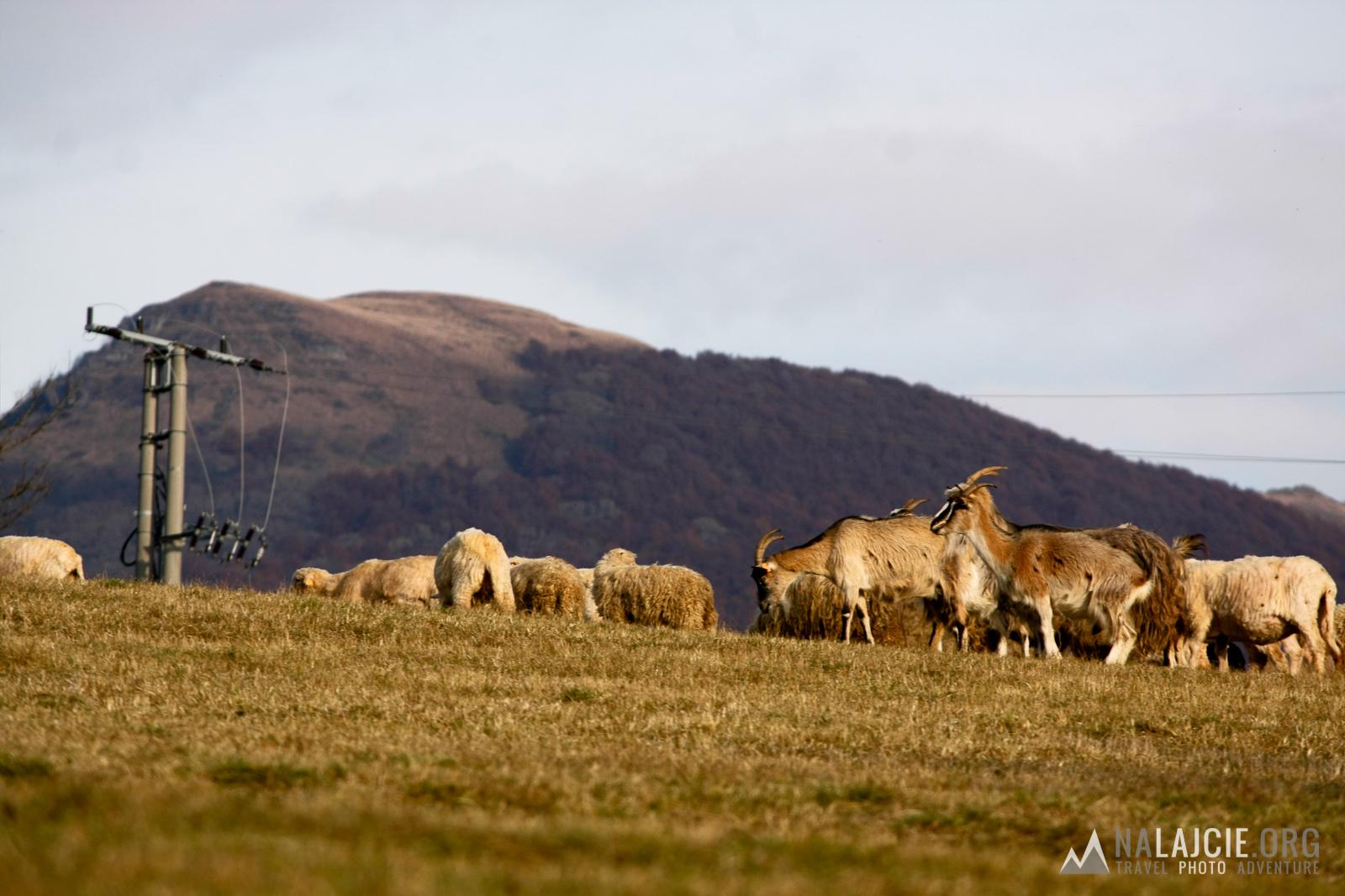 owce, kozy z Honem