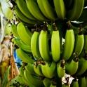 Plantacja bananów :)