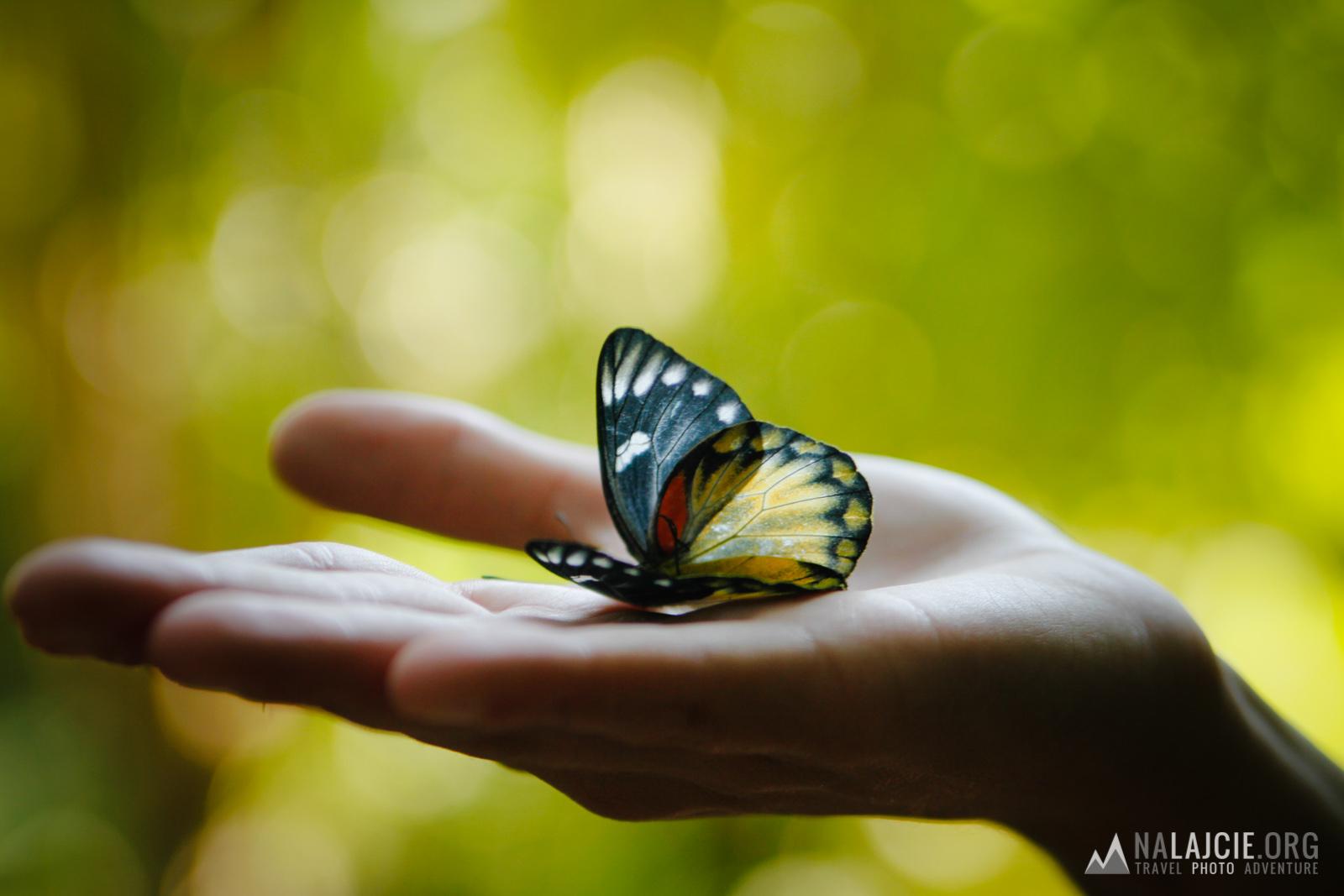 Himalajski motyl...
