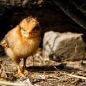 Kurczaki mają co wcinać!