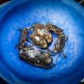 Świeże kraby...