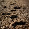 Ślady wielbłąda na muszelkowej plaży