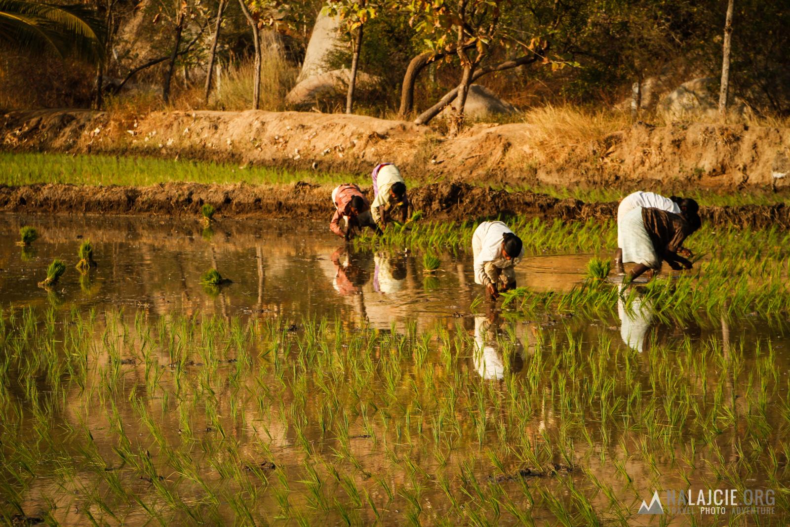 Popołudniowe zbieranie ryżu.