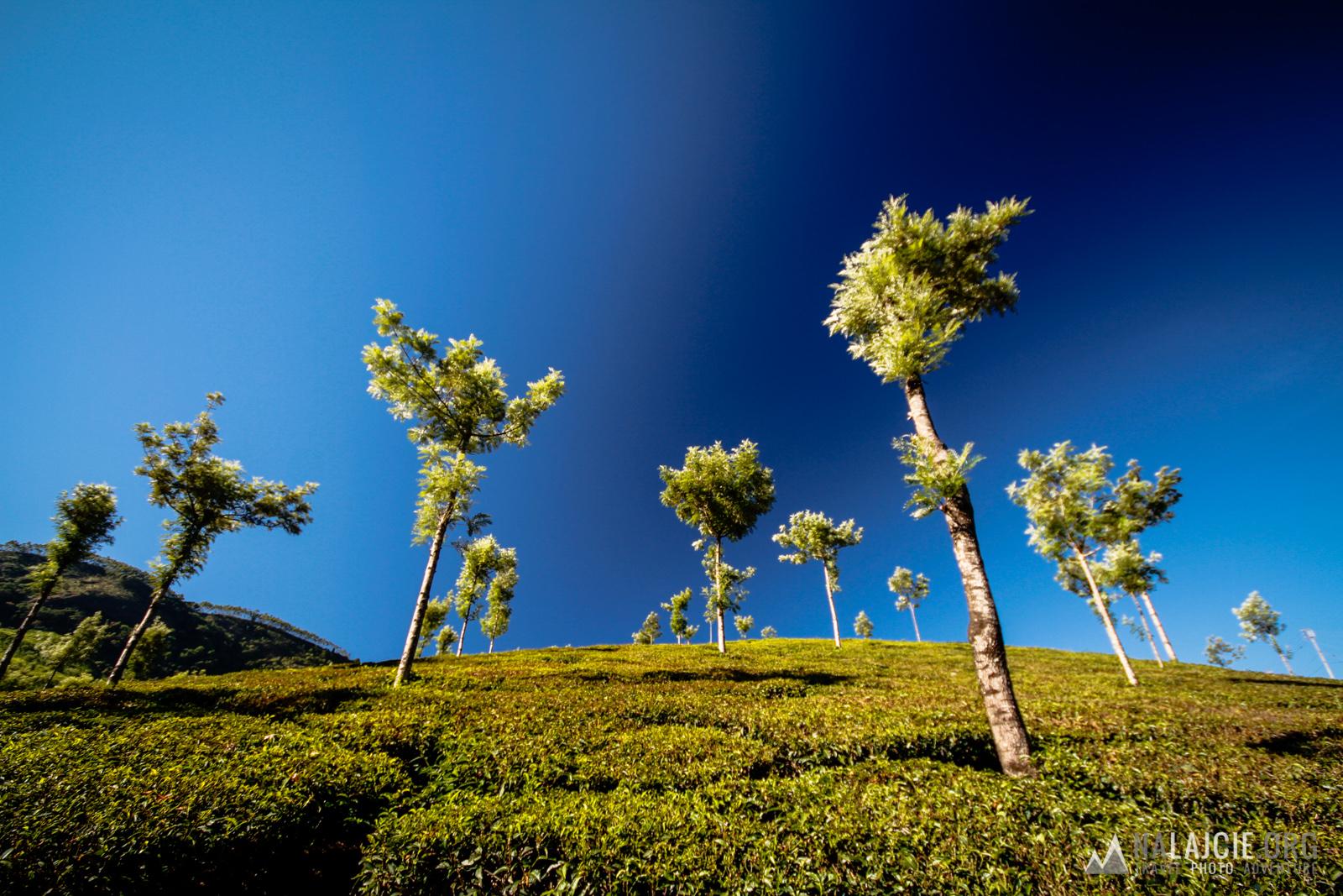 Przez zielone plantacje herbaty.