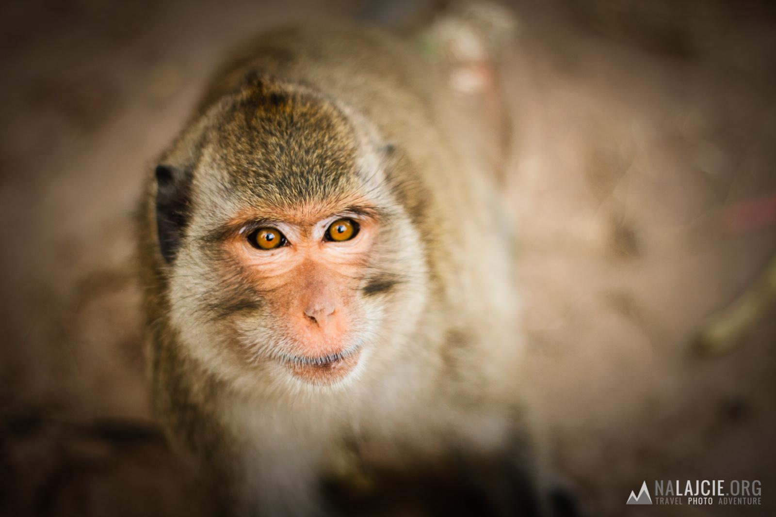 Udomowiona małpa.