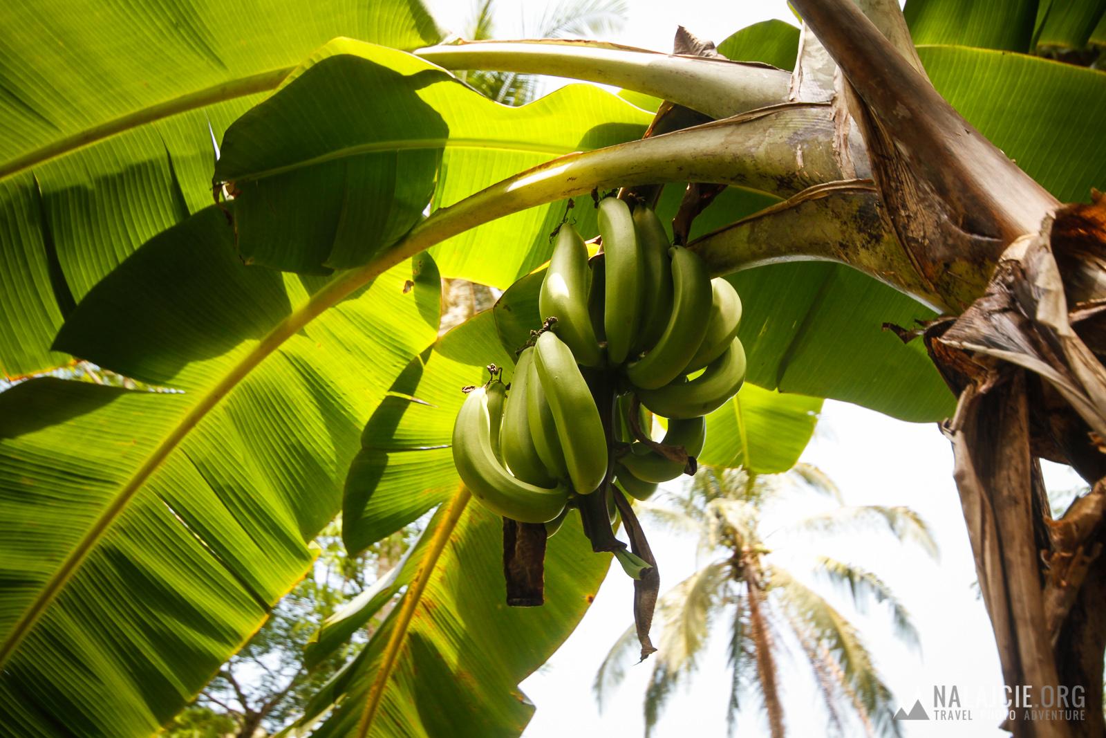 Plantacja bananów.
