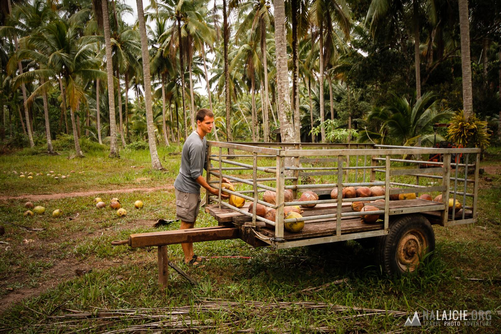 Zaglądając na farmę kokosów.