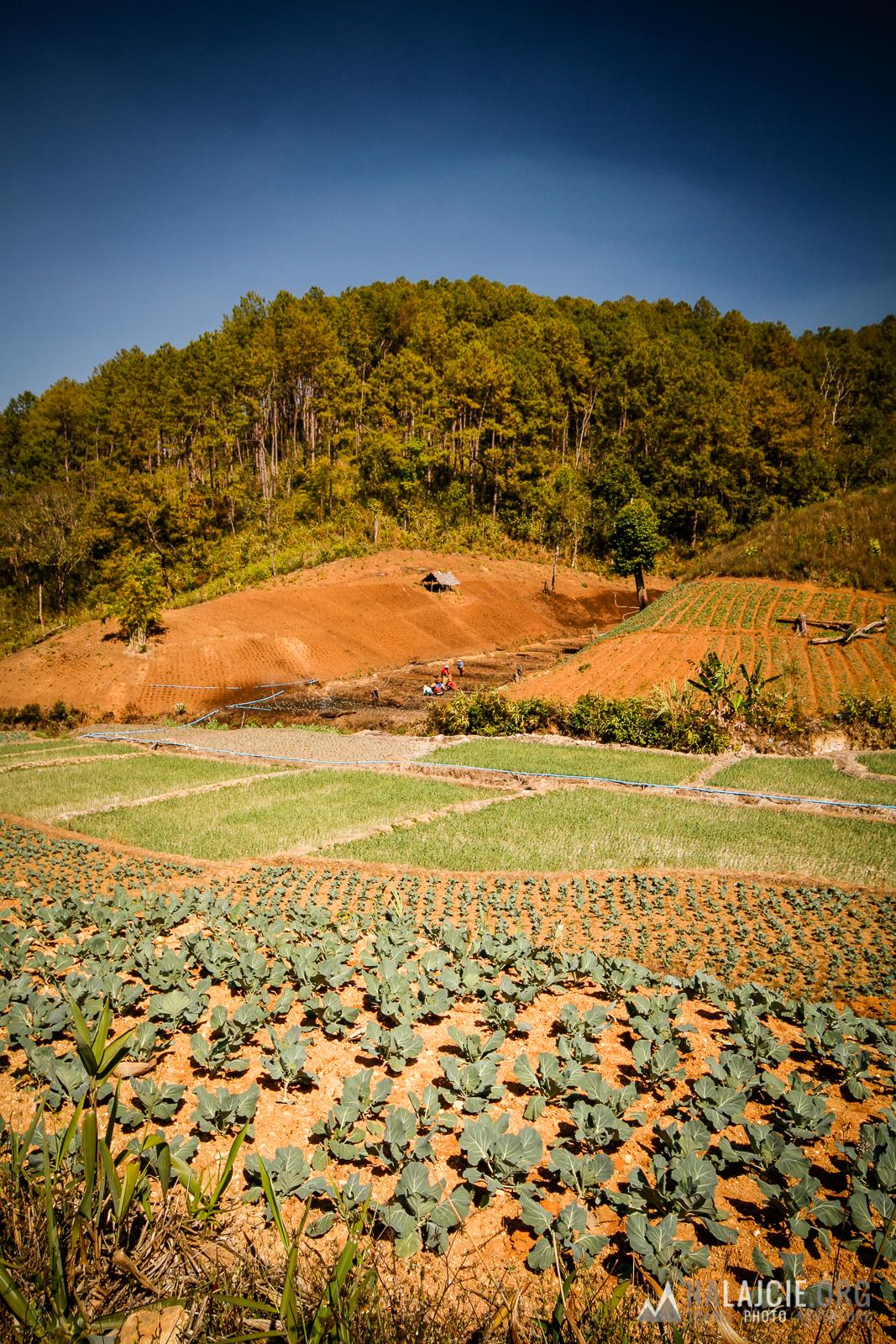W tle plantacja truskawek.